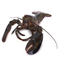 春播活水产波士顿活龙虾 1只装 850-1000g