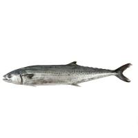 春播冰鲜水产野生海捕鲅鱼 1条装 750-850g