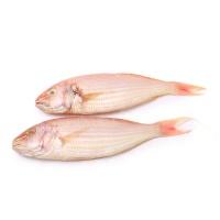 春播冰鲜水产金线鱼 450-500g