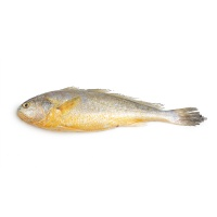 东海捕捞野生大黄鱼1条装500-600g