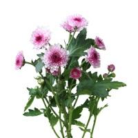 花楹粉色系小菊10枝