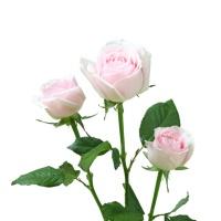 花楹粉红雪山玫瑰10枝